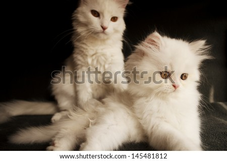 Adorable white Persian cat and kitten
