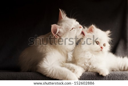 Adorable white Persian cats, mother licking its cub - stock photo
