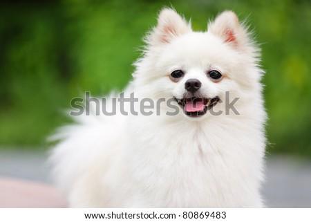 adorable white pomeranian - stock photo