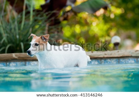 Adorable white terrier dog in a beautiful residential swimming pool. - stock photo
