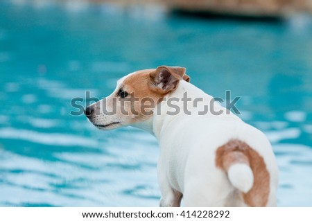 Adorable white terrier dog in a beautiful swimming pool. - stock photo