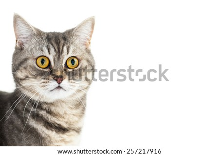 Adorable yellow eyed british gray cat portrait on isolated white background with copyspace - stock photo