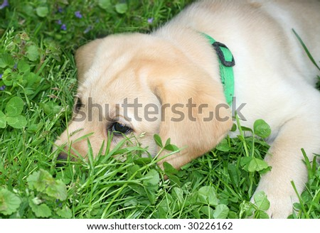 adorable yellow labrador puppy lying in grass