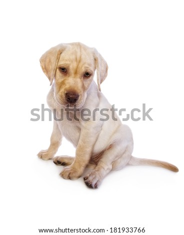Adorable yellow Labrador Retriever puppy looking sad isolated on white background