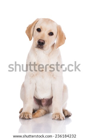 adorable yellow labrador retriever puppy sitting on white - stock photo