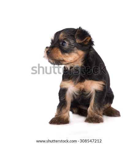 adorable yorkie puppy on white - stock photo