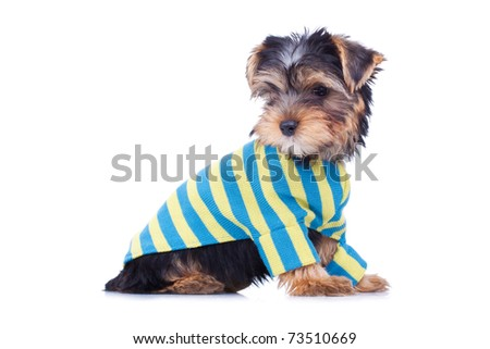 Adorable yorkshire puppy, looking at something, dressed, isolated on white - stock photo