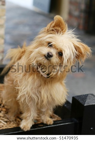 adorable yorkshire terrier with head tilted to side - stock photo