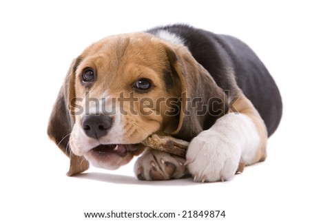 Adorable young beagle pup chewing on it's bone - stock photo