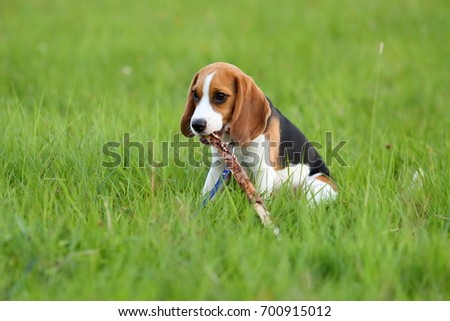 Simple Small Beagle Adorable Dog - stock-photo-adorable-young-beagle-puppy-sit-in-grass-and-gnaw-wood-stick-long-funny-ears-of-small-cute-doggy-700915012  Gallery_62897  .jpg