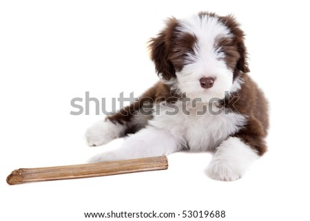 Adorable young bearded collie pup on white background - stock photo