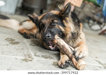 Adorable young german sheperd dog chew and playing with big wooden stick - stock photo