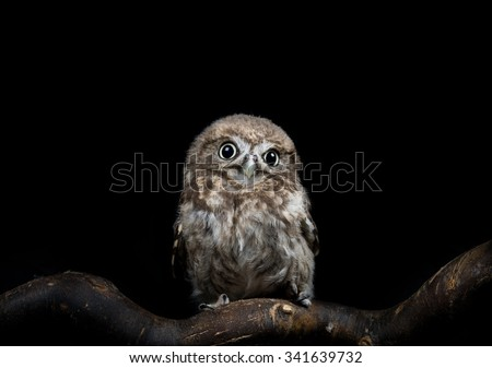 Adorable young Little Owl (Athene Noctua) - stock photo