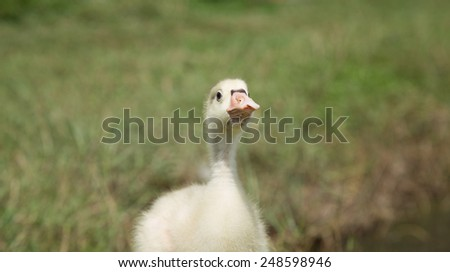 Adorable young swan in nature. - stock photo