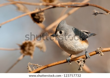 Adorably cute Tufted Titmouse perched on a dry sunflower stalk in winter - stock photo