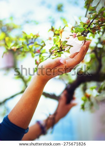 Adoring the spring magnolia flowers on a tree, in sun light. Flower in woman hand - stock photo