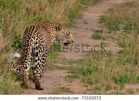 adult african leopard in Sabi Sand nature reserve, South Africa, back view - stock photo