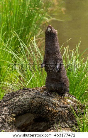 Adult American Mink (Neovison vison) Stands Up - captive animal
