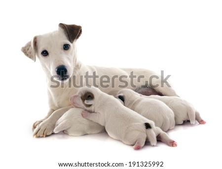 adult and puppies jack russel terrier in studio - stock photo