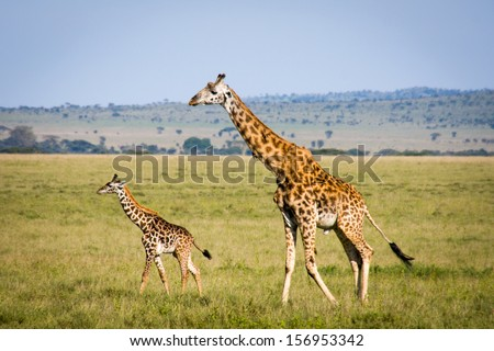 Adult and young giraffe walking in the Serengeti. - stock photo