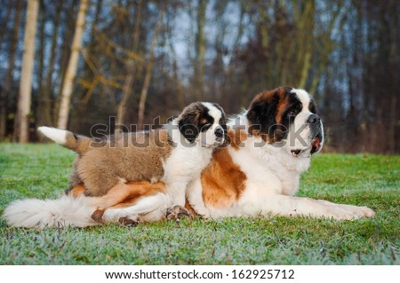 Adult and young saint bernard dogs - stock photo