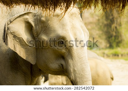 Adult Asian elephant in elephant sanctuary in the north of Thailand  - stock photo