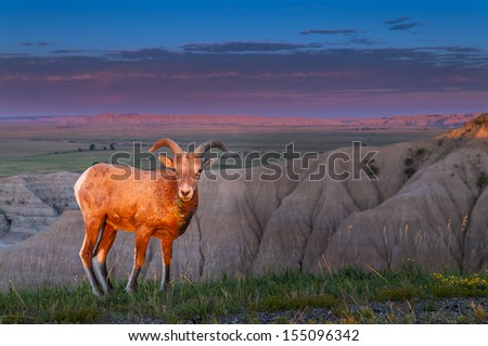 Adult Badlands Bighorn Sheep Male against morning sky - stock photo