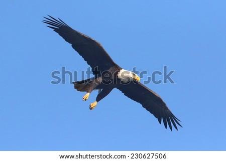 Adult Bald Eagle (haliaeetus leucocephalus) in flight against a blue sky - stock photo