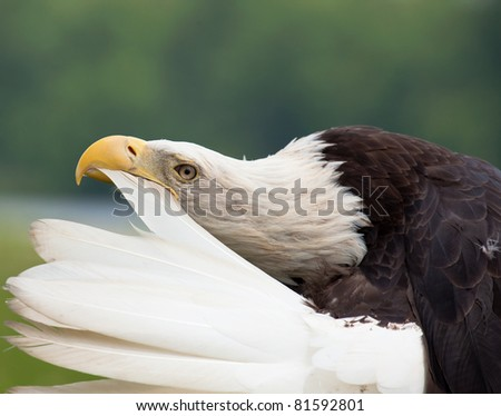 Adult bald eagle preening tail feather - stock photo