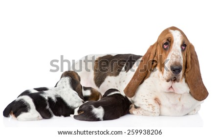 adult basset hound dog feeds the puppies. isolated on white background