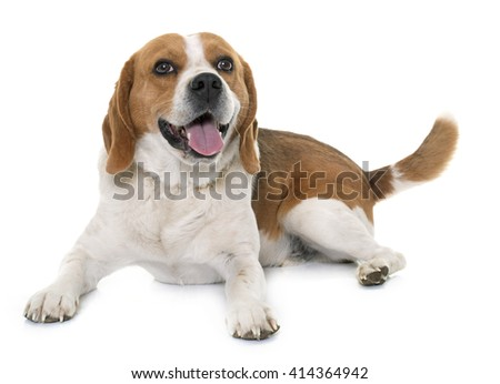 adult beagle in front of white background - stock photo