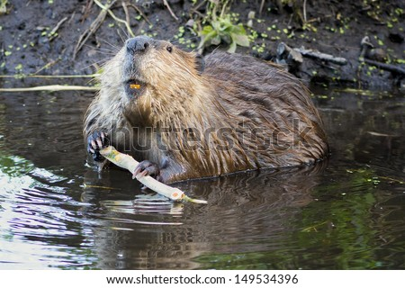 Adult beaver stripping bark off of a tree branch for dinner in Grand Teton National Park, WY - stock photo