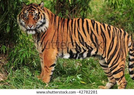 Adult bengal tiger spotted deep in the bamboo forest - stock photo