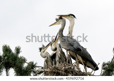 Adult bird arrived to feed Grey Heron juvenile birds in the nest - stock photo