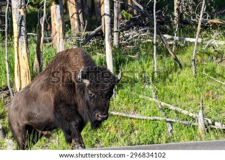 Adult Bison or Buffalo in a forest at Yellowstone National Park - stock photo