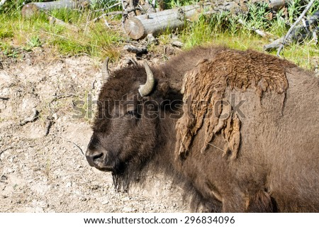 Adult Bison or Buffalo in Yellowstone National Park - stock photo
