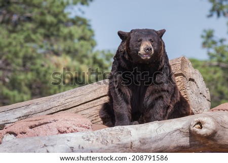 adult black bear resting mid day under bright warm sunshine in South Dakota - stock photo