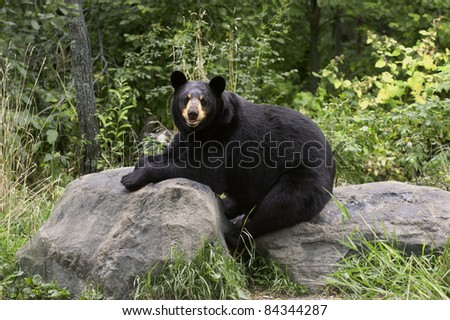Adult black bear (Ursus Amricanus) takes a rest on rocks in the forest. - stock photo