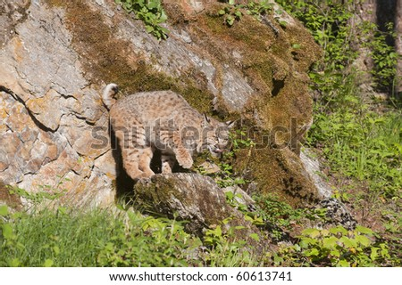 Adult bobcat on perches precariously on rocky outcropping. - stock photo
