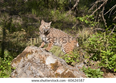 Adult bobcat on rocky outcropping - stock photo