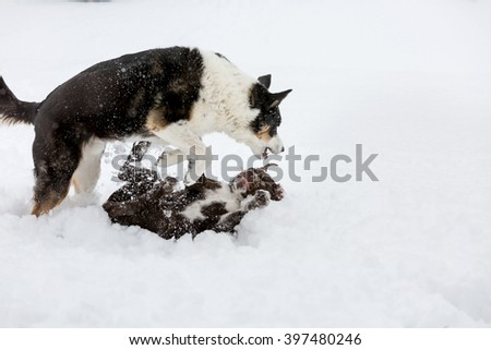 Adult Border Collie and Brown puppy Snow Day play; adult dog over puppy, but puppy is playing on back in snow - stock photo