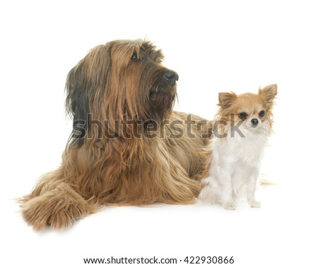 adult briard and chihuahua in front of white background