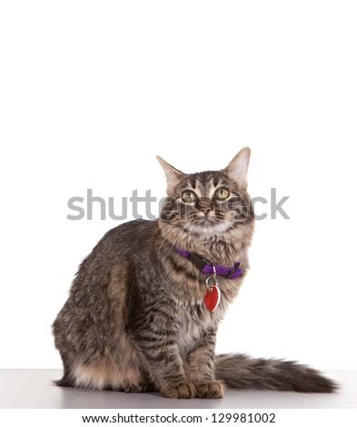 Adult cat against white background with collar and tags - stock photo
