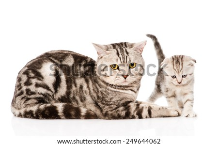 adult cat with kitten. isolated on white background - stock photo