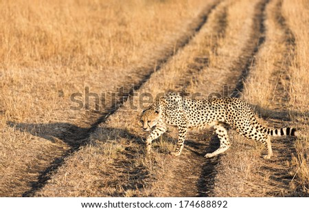 Adult cheetah crossing road in Masai Mara National Reserve, Kenya, East Africa - stock photo