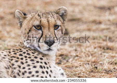 Adult cheetah resting in grassland of  Masai Mara National Reserve, Kenya, East Africa - stock photo