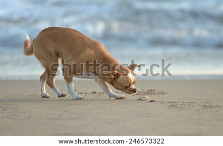 Adult Chihuahua dog is enjoying an afternoon at the beach