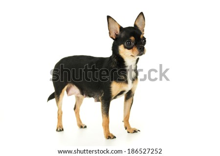 Adult chihuahua dog stands - stock photo