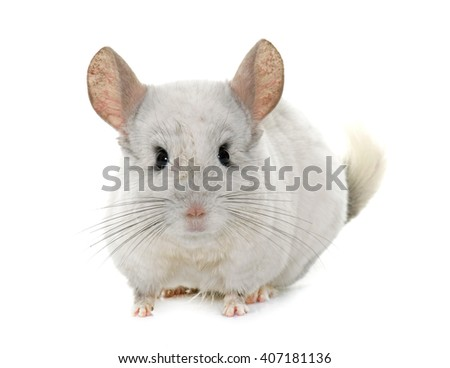 adult chinchilla in hands in front of white background