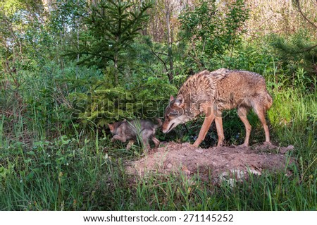 Adult Coyote (Canis latrans) Sniffs at Rear of Pup - captive animal - stock photo